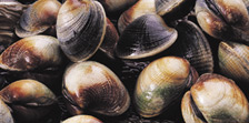NZ Fresh Littleneck Clams